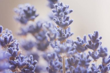 dried lavender flowers and bouquet with lavender