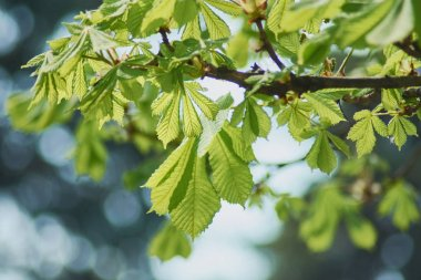 Young green leaves and flower buds of horse chestnut, closeup, selective focus.