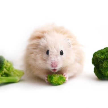Fluffy hamster is eating vegetables with broccoli cabbage, isolated on white background. Funny animals