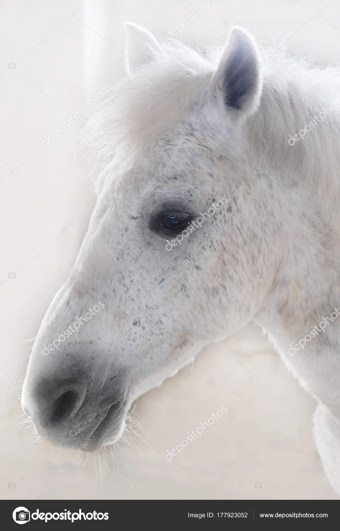 Images Side View Of A Horse Head Side View White Horse Head Fuzzy Background Stock Photo C Tanya Morozz 177923052