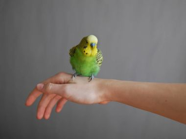 Lovely budgerigar with yellow and green plumage sitting on womans hand before white wall