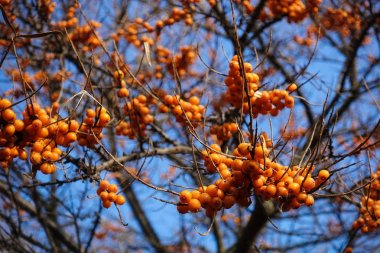 Hippophae. A branch with sea-buckthorn berries against the blue sky