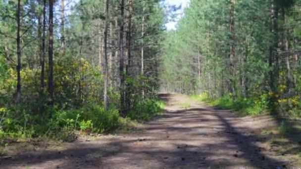 Óriási fenyőfák között az erdő, a magas fák. Szél