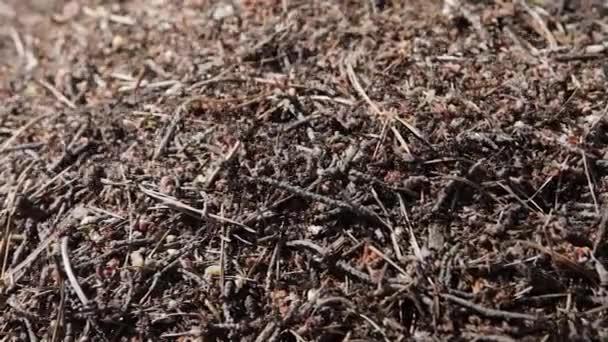 Velká mravenčí hnízdo v lese. Procházení mravenci v mraveništi