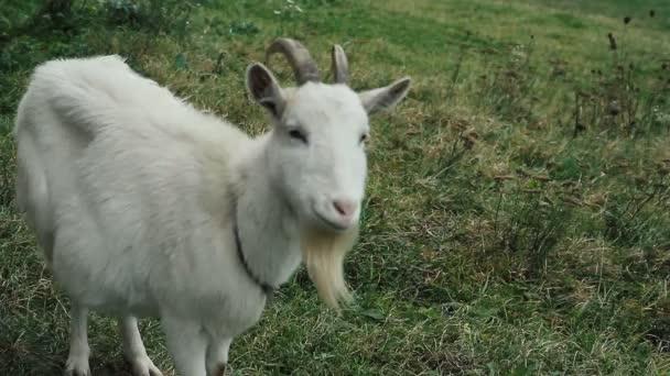 Bílý domácí kozí stojící na farmě jíst zdá se, že hledá něco.