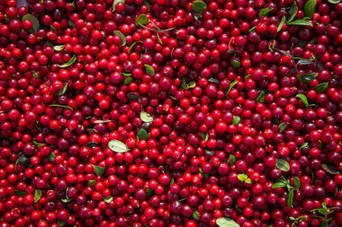Red berries ripe cranberries after harvest lie in the sun and dried