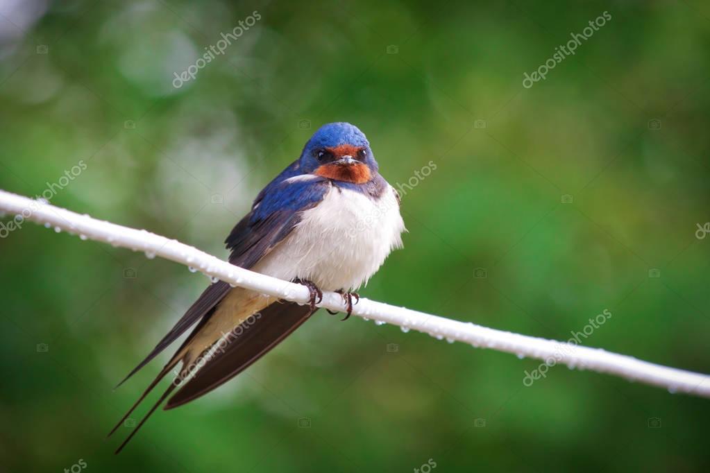 Adult nestling barn swallows (Hirundo rustica)