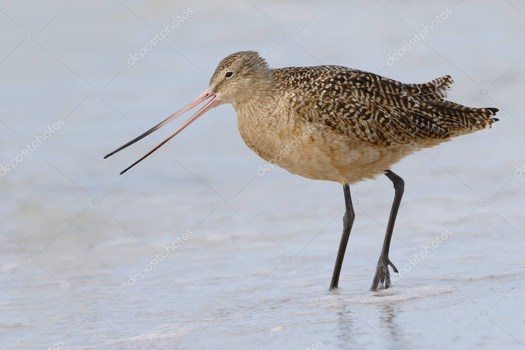 Marbled Godwit foraging in shallow water - St. Petersburg, Flori