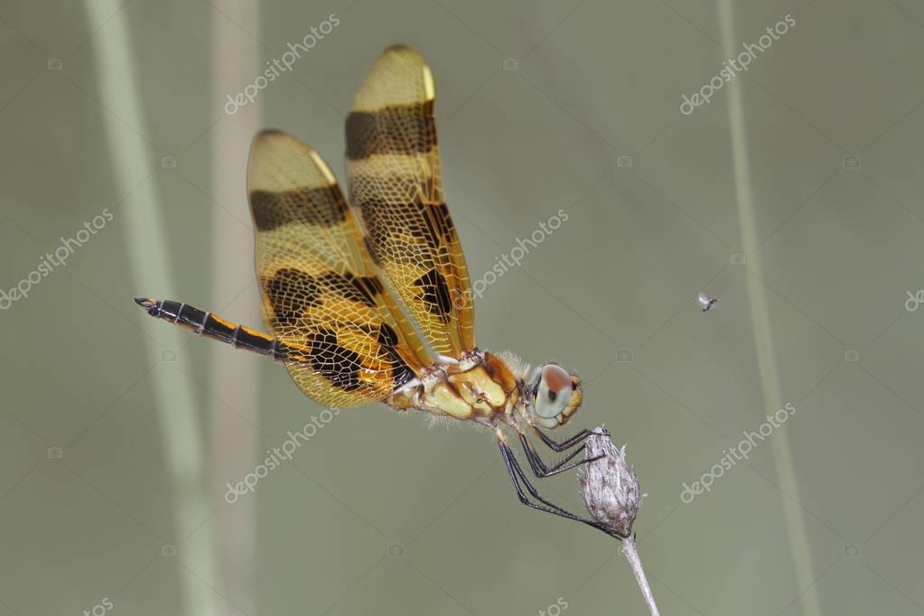 Halloween Pennant perched on a twig