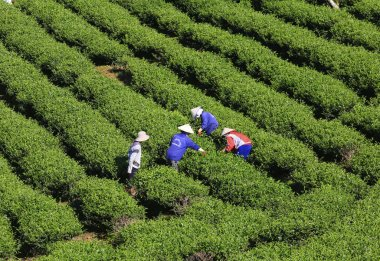 A group of farmers picking tea