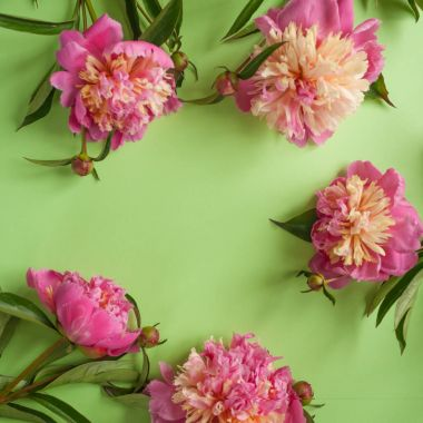 Pink peonies on green background