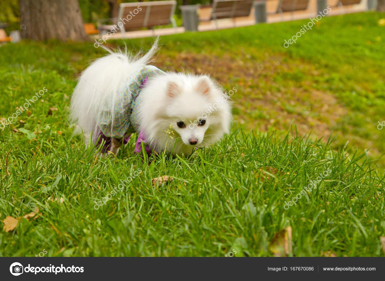 Simple Spitz Canine Adorable Dog - depositphotos_167670086-stock-photo-pretty-cute-pomeranian-spitz-dog  Photograph_136140  .jpg