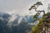 Osamělé staré borovice horní Sokolica Mountain, Pieninský národní Park, Polsko, v deštivé a mlhavé den září