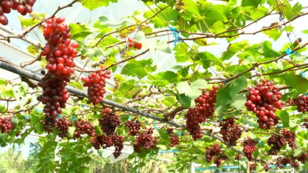 View of Red Seedless Grapes in a vinery HD