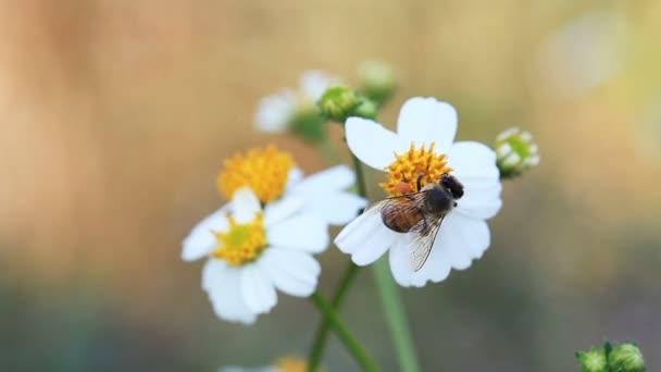 Včely opylovat a sání nektaru z bílé květy v zahradě a odletět