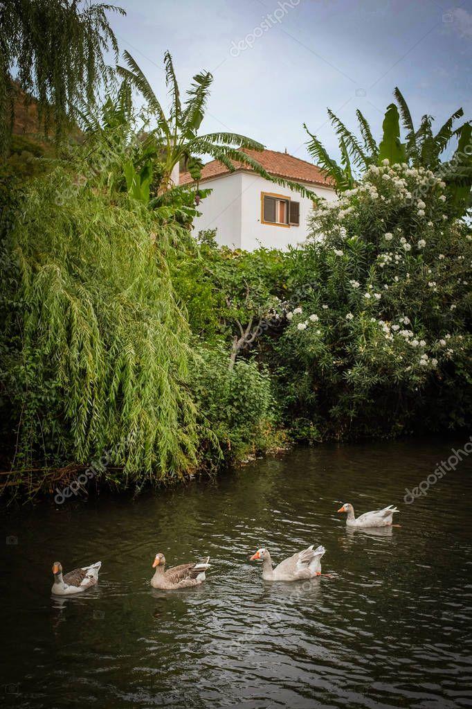 ducks swimming in creek