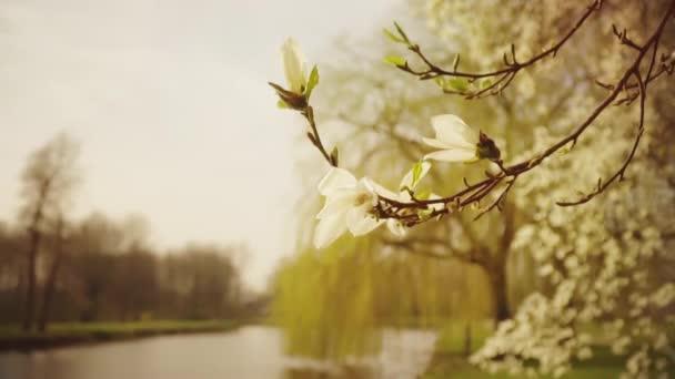 Jaro, bílá magnolia kvetoucí, květy