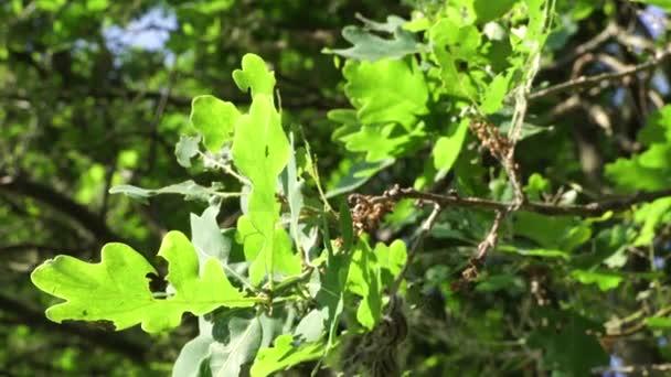Tölgyfa lárvákkal fertőzött feldolgozóipari (Thaumetopoea processionea) hernyók