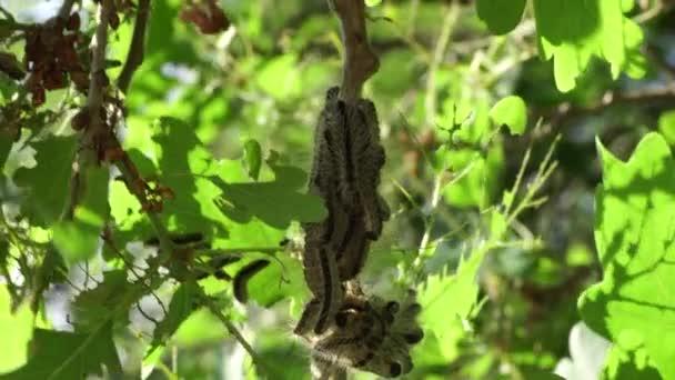 Nest oak processionary caterpillar (Thaumetopoea processionea) in an oak tree