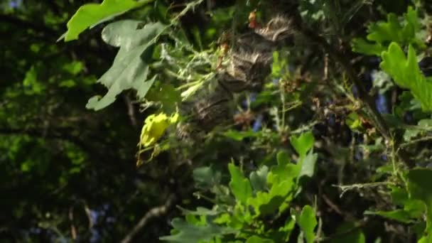 Nest oak processionary caterpillar in an oak tree. Poisonous hairs are dangerous for human skin and lungs causing rash irritation and asthma