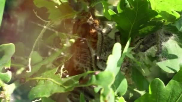 A tölgyfák tele vannak hernyókkal. Mérgező hernyó-fertőzés pestis