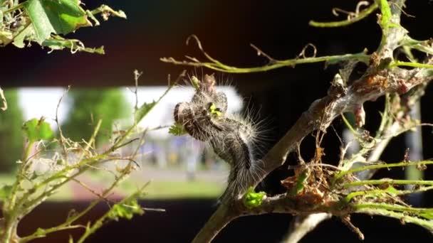 Teljesen sérült tölgyfa levelek.Mérgező hernyó fertőzés pestis tölgyfák Európában város. Ökológiai probléma
