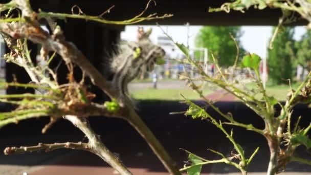 Mérgező hernyó fertőzés pestis tölgyfák. Ökológiai probléma. Teljesen sérült tölgyfa levelek