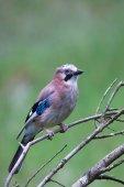 Fotografie eurasian jay bird