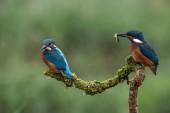 Fotografie britské kingfisher ptáci