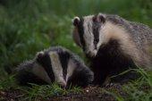 paar britische Badgers