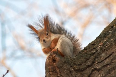 A cute red squirrel sits on a stump and eats seeds on a Sunny winter day.