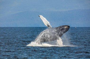 Flying whale. Alaska