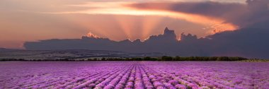 Lavender fields in Crimea