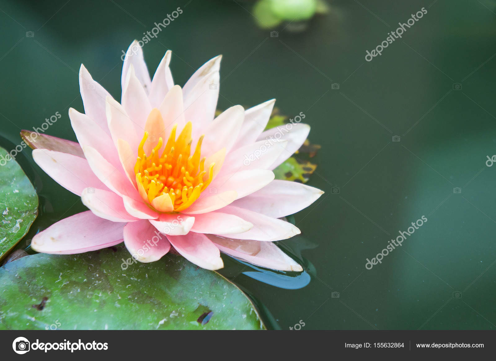 Beautiful Lotus Flowers Or Waterlily In Pond Stock Photo