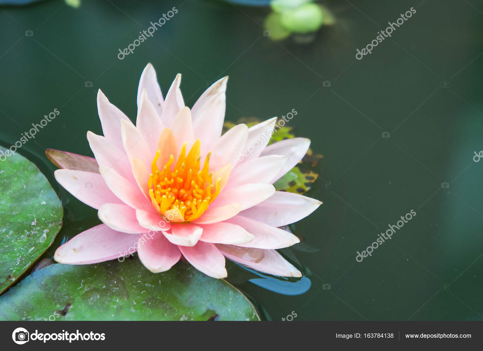 Beautiful lotus flowers or waterlily in pond stock photo beautiful lotus flowers or waterlily in pond photo by aboutnuylove izmirmasajfo