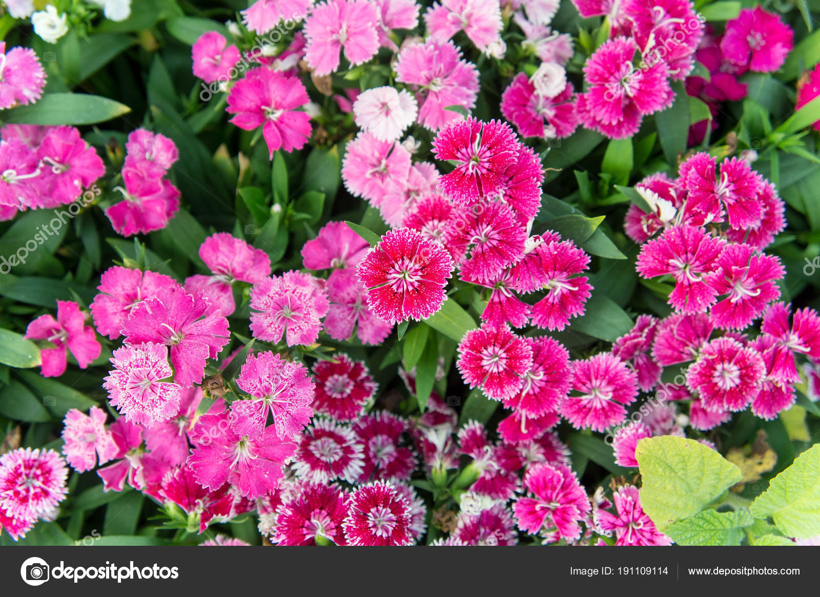 Dianthus Flowers Colorful Flowers Daisy Vivid Flowers In The