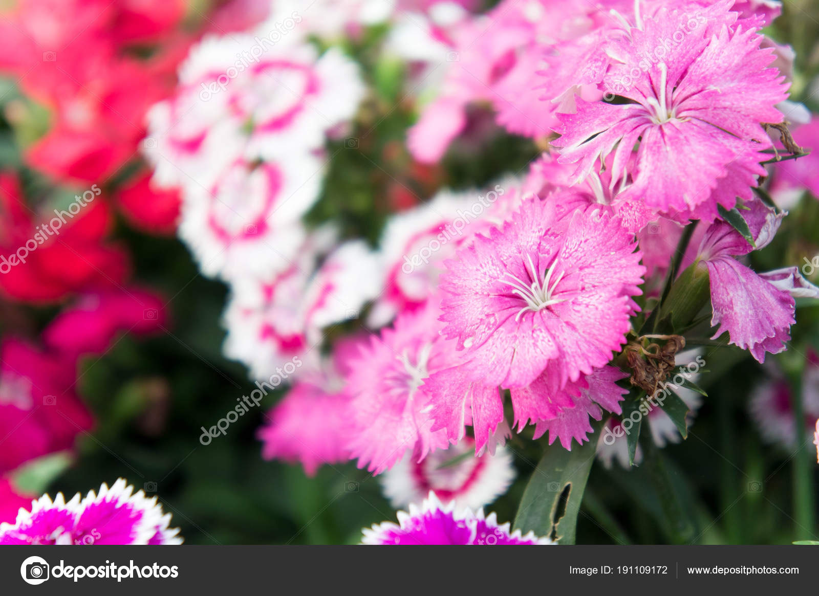 Dianthus Flowers Colorful Flowers Daisy Vivid Flowers In The G