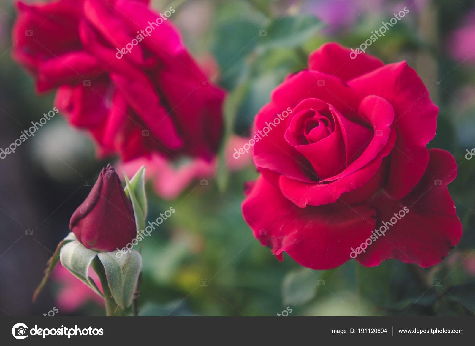 Rose Rouge Dans Le Fond Du Jardin La Nature Les Fleurs Rose Pour L