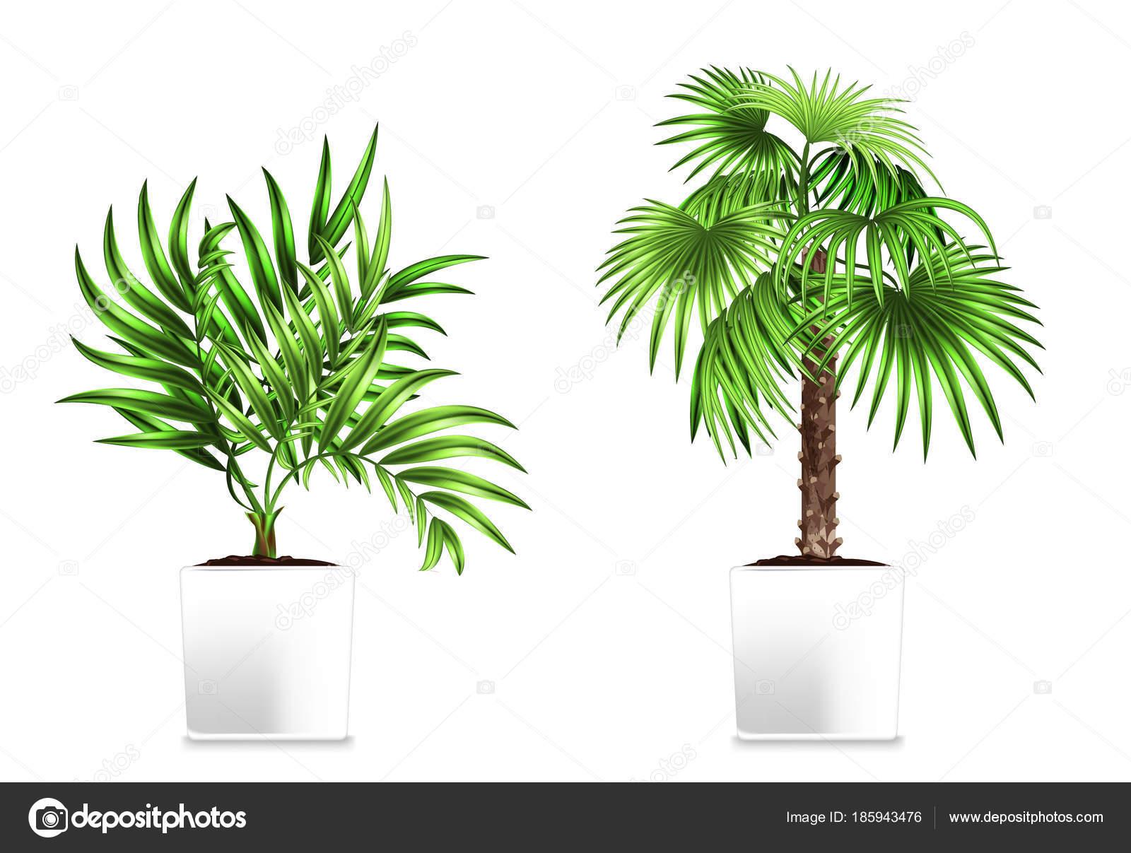 Due palme verde nei vasi bianchi isolati su bianco. Elemento di ...