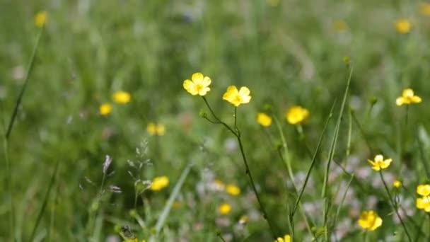 Pequenas Flores Silvestres Amarillas Una Zona De Hierba Verde