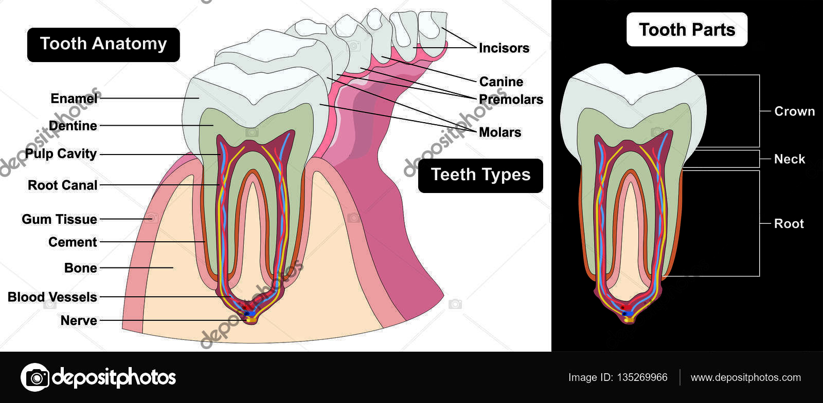 Tooth types anatomy parts stock photo udaix 135269966 human tooth cross section anatomy enamel dentine pulp cavity gum tissue bone nerve blood vessels cement canal part crown neck root teeth types incisors ccuart Image collections