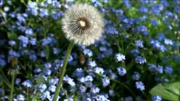 Osamělý Pampeliška na modrém pozadí. Pomněnka květiny, pomalý pohyb
