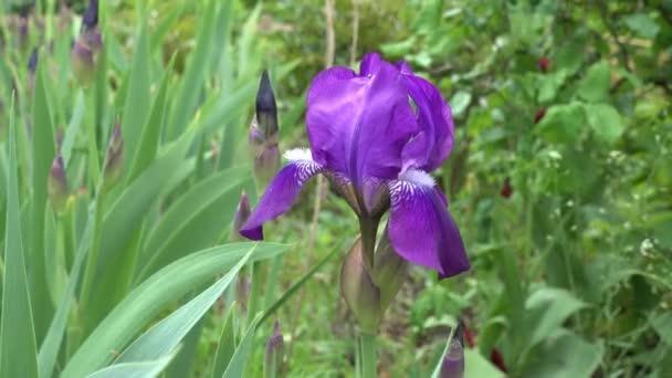 Blooming Iris in the Garden in Spring