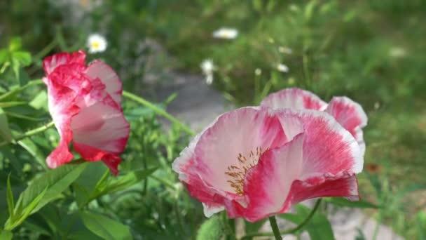 Tři růžové máku v zahradě