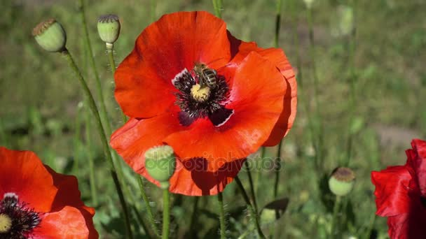 the Bee Collects Pollen From a Blooming Red Poppy. Large