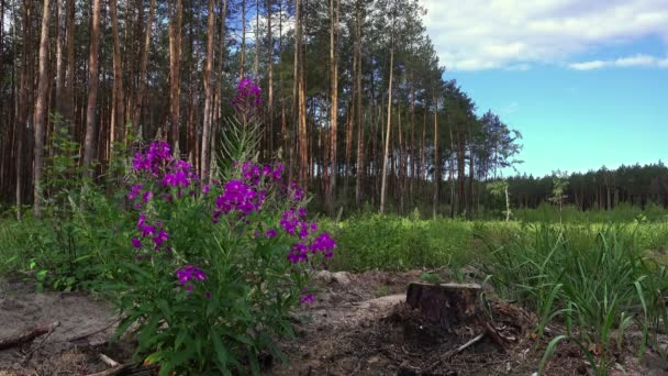 Borovicový les v večerní světlo, fialová Flowers.glade