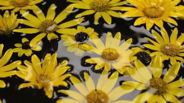 Panorama swimming in the rain of yellow daisies.