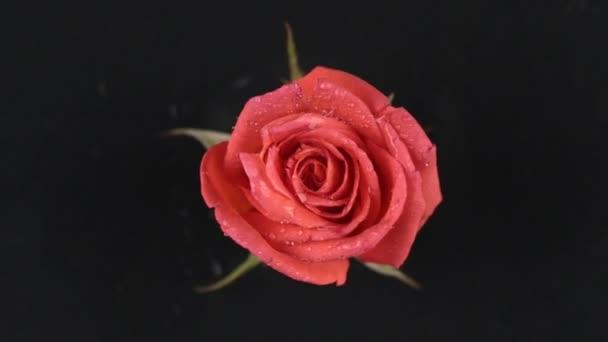 Egy vörös rózsa, a fekete háttér a lassú forgás.