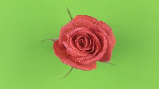 Pomalé otáčení červené růže na zeleném pozadí. Chromakey.