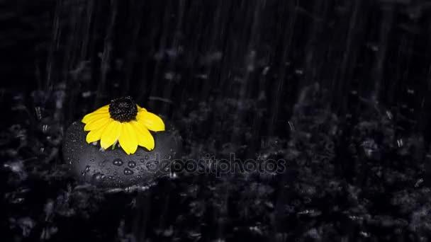 Květina na černý kámen v dešti